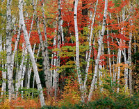 autumn,birches,maples,new,hampshire