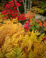 autumn,ferns,new,hampshire,new,england