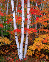 three,birches,new,hampshire,autumn