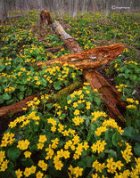 marigold,forest,wisconsin,northwoods,wildflowers