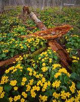 marigold,forest,wisconsin,northwoods,wildflowers