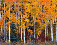 aspen,conifers,colorado,san,juan,mountains,autumn