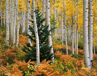 aspen,dream,colorado,autumn