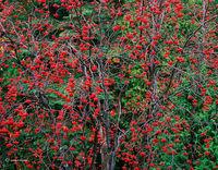 mountain,ash,beries,michigan,autumn,forest