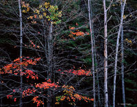 autumn,surviver,michigan,northwoods,forest