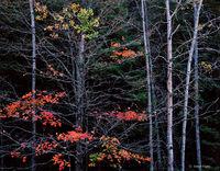 autumn,surviver,michigan,northwoods,forest