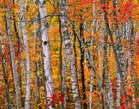 birch,forest,michigan,northwoods,autumn