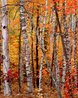 autumn,canvas,michigan,forest
