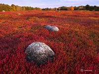 wild,blueberry,field,maine,autumn
