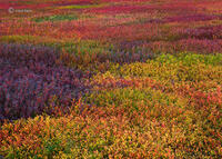 wild,blueberry,field,pastels,maine