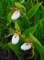 Endangered,Little,Lady,Slippers,Tallgrass,Prairie, Illinois
