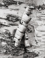 peeling,birch,tree,acadia,national,park,maine
