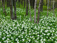 Trillium,grandiflorum,door,county,wisconsin,carpet