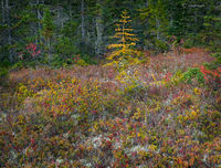 autumn,bog,maine,canada,border,display,autumn,color