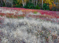 autumn,grass,wild,blueberry,field,maine
