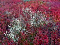 autumn,blueberries,and,grasses,maine