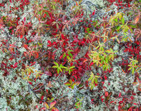 autumn,bog,floor,reindeer,lichen,maine,canada,border