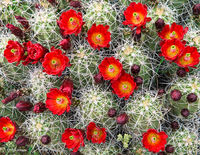 spring,bloom,claret,cup,cactus,colorado,plateau