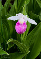 wild,showy,lady,slipper,orchid,native,wildflower,boreal,forest,northwoods,wisconsin