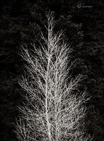 winter,aspen,bare,tree,gunnison,national,forest,colorado