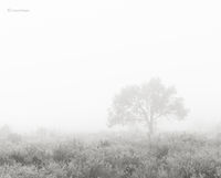 lone,tree,in,fog,foggy,morning,hubbell,trading,post