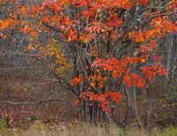 Orange Maple