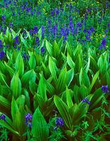 corn,lilies,larkspur,colorado,wildflowers