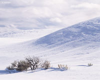 snow,mounds,sage,brush,wyoming,winter,yellowstone,national,park