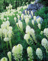 beargrass,montana,wildflowers