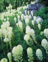 beargrass,montana,wildflowers