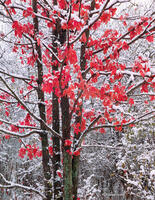 resistance,illinois,red,maple,winter
