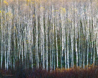 Hibernation,aspen,boles,late,autumn,colorado