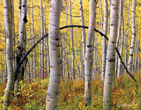 aspen,bow,colorado,autumn,mountains