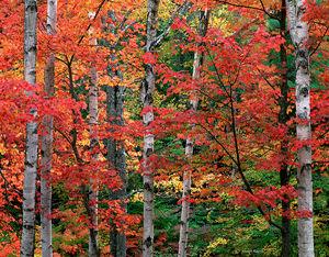 Autumn Maples & Birches