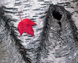 Lone Maple Leaf