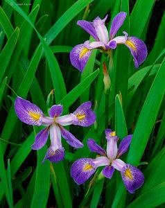 Prairie Iris