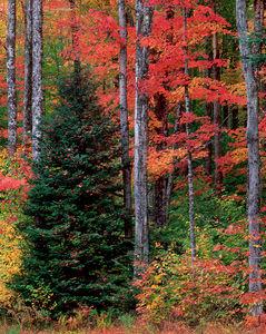 Balsam Fir & Maples, Autumn