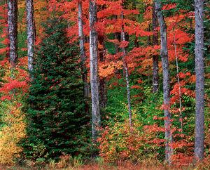 Balsam Fir, Autumn