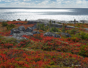 Wild Bluberries Along Atlantic Coast