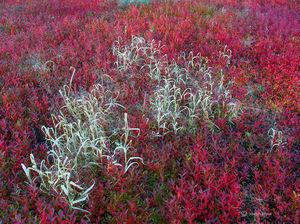 Autumn Blueberries & Grasses
