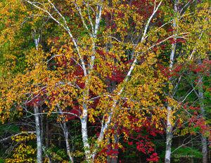 Acadia Birches & Maple