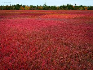 Autumn Blueberry Field
