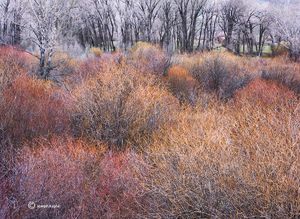 Late Winter Willows