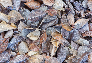 Frosted Elm Leaves