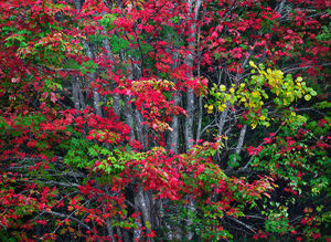 Red Maple, Autumn