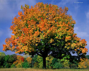 Autumn's Patriarch