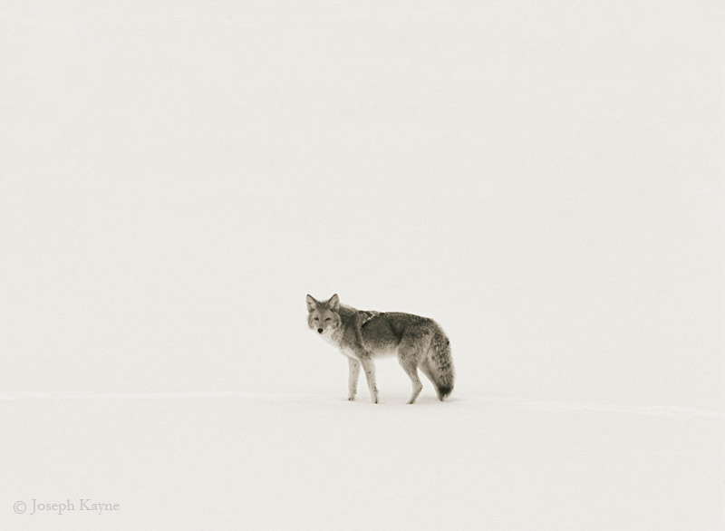 the,song,dog,wyoming,winter,yellowstone,national,park
