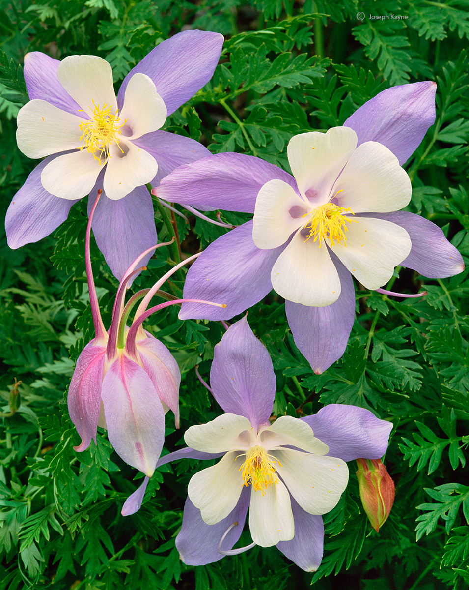 colorado,blue,columbine,wildflowers, photo