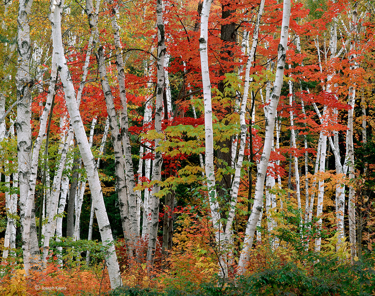 autumn,birches,maples,new,hampshire, photo