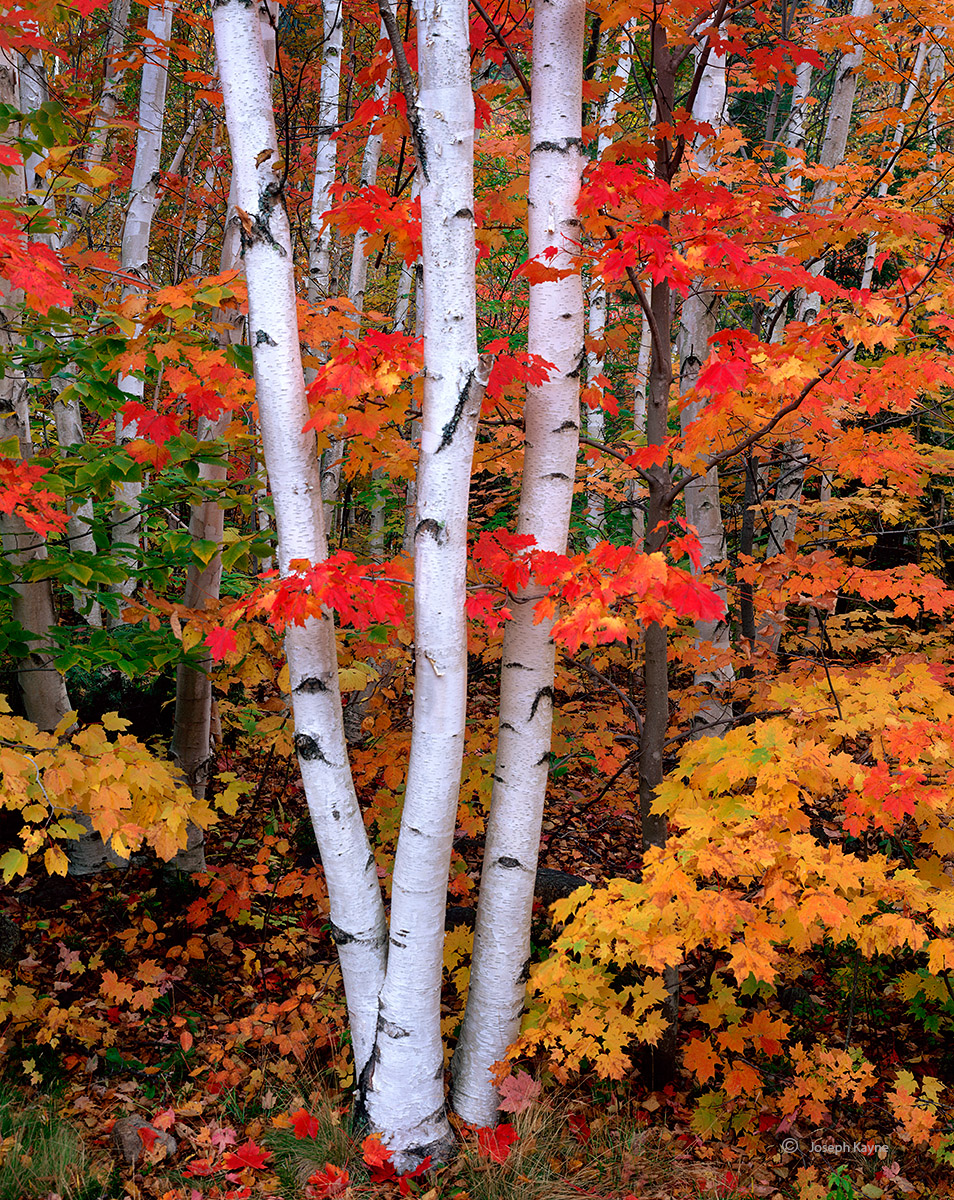 three,birches,new,hampshire,autumn, photo